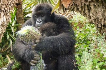 gorilla trekking rwanda is life time experience